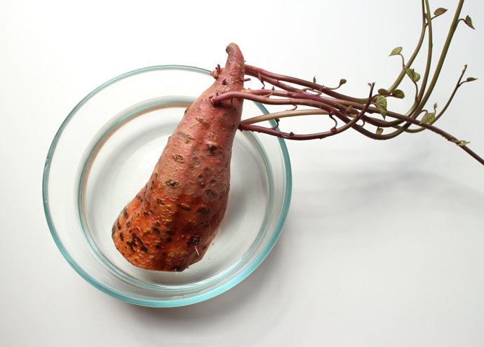 growing sweet potato sprouting slips